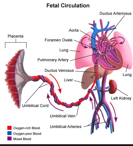 lotus_birth_fetal_circulation